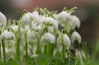 The Flowers of Winter into Spring - mid February inspiration in St Peter's Patch